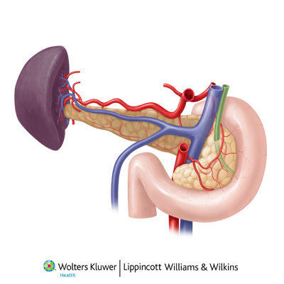 common bile duct anatomy. common bile duct,